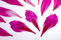 Flower pink petals. Pink petals of flowers on white background Royalty Free Stock Photo