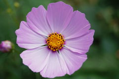 Flower with pink petals and yellow center. Close-up Royalty Free Stock Photo