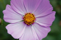 Flower with pink petals and yellow center. Close-up Royalty Free Stock Photography