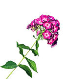 Flower of pink phlox isolated Stock Images