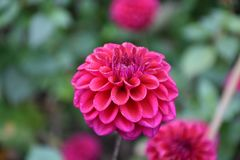 Flower, Pink, Plant, Dahlia Royalty Free Stock Photography