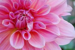 Flower, Pink, Plant, Dahlia Royalty Free Stock Images