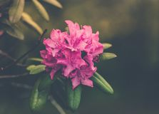 Flower, Pink, Plant, Flora Royalty Free Stock Images