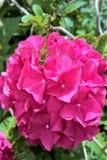 Flower, Pink, Plant, Floribunda Royalty Free Stock Photography