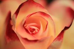 Flower, Pink, Red, Garden Roses stock photo
