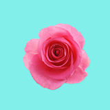Flower pink rose on the blue background Stock Photography
