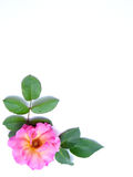 Flower border. Pink rose border for card Royalty Free Stock Photo