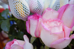 Flower pink rose close up for valentine romantic festival day ba Royalty Free Stock Photo