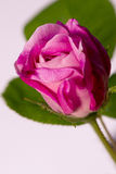 Flower of pink rose. Detailed view of pink rose flower isolated over white background Stock Photo