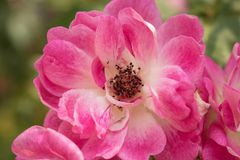 Flower, Pink, Rose Family, Flowering Plant royalty free stock images
