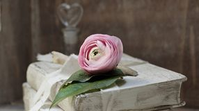 Flower, Pink, Rose Family, Plant Royalty Free Stock Image