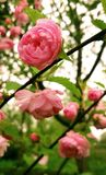Flower, Pink, Rose Family, Plant Royalty Free Stock Images