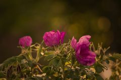 Flower, Pink, Rose Family, Plant Stock Images