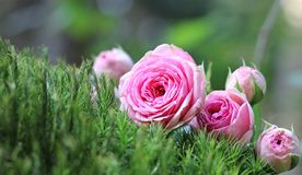 Flower, Pink, Rose Family, Rose Stock Photography