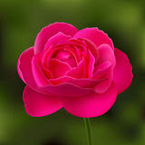 Flower of pink rose on green blurred background Stock Images