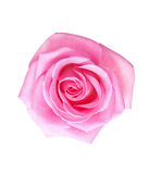 Flower of pink rose Royalty Free Stock Photos