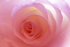 Flower pink rose in light Royalty Free Stock Image