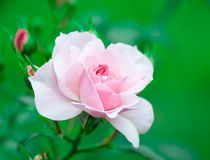 Flower pink rose on natural background Stock Image