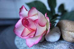 Flower, Pink, Rose, Plant royalty free stock photos