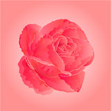 Flower pink rose vector Royalty Free Stock Photos
