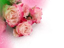 Flower pink roses Stock Image