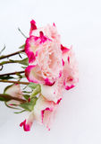 Flower pink roses on snow Stock Photos
