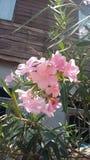 Flower. Pink sammer Stock Photography