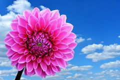 Flower, Pink, Sky, Flowering Plant royalty free stock images