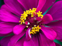Flower Pink Stock Images