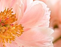 Flower, Pink, Stamen, Floral, Fresh Royalty Free Stock Images