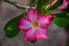 Flower pink. To white  yellow pollen Royalty Free Stock Photography