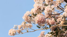 Flower of pink trumpet tree with blue sky. Background stock footage