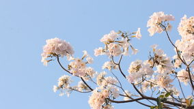 Flower of pink trumpet tree with blue sky. Background stock video