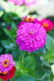 Flower pink tsiniya, selective focus Stock Photos