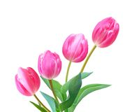A flower of pink tulips. Bouquet in backgound Royalty Free Stock Image