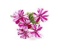 Flower pink verbena. Isoleted on white background Stock Images
