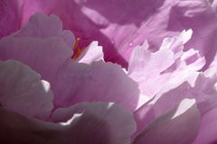 Flower, Pink, Violet, Flowering Plant Royalty Free Stock Image