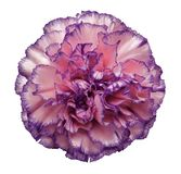Flower Pink-violet-pearl carnation on a white isolated background with clipping path. Closeup. No shadows. For design. Nature Royalty Free Stock Image