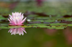 Flower of pink water lily Stock Photos