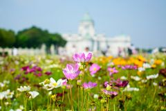 Flower pink and white,so beautiful,Ananta Samakhom Throne Hall with field. Stock Photo