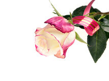 Flower pink and white roses Stock Images