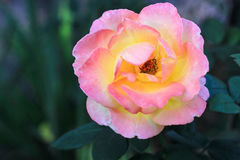 Flower pink-yellow luxuriant rose. On a green background Stock Photo
