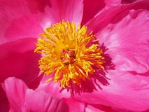 Flower, Pink, Yellow, Peony Royalty Free Stock Photo