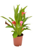 Flower pink Zantedeschia in flowerpot Stock Photo