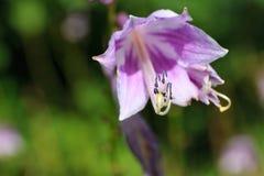 Flower pistil Stock Image