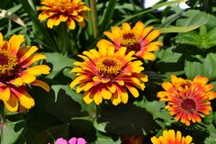 Flower, Plant, Annual Plant, Blanket Flowers Royalty Free Stock Photo