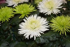 Flower, Plant, Aster, Daisy Family Stock Images