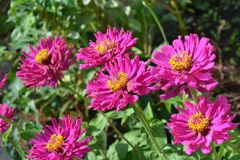 Flower, Plant, Aster, Flora Royalty Free Stock Photo