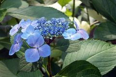 Flower, Plant, Blue, Hydrangea royalty free stock photo