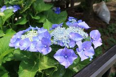 Flower, Plant, Blue, Hydrangea royalty free stock photography